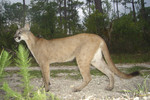 Florida_panther_Larry_W_Richardson_USFWS_FPWC.jpg