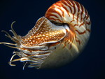 Nautilus pompilius_courtesy_Greg_J_Barord_media_use_allowed_FPWC_ 1.jpg