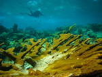 coral_Abel_Valdivia_2_Center_for_Biological_Diversity_FPWC.jpg
