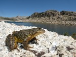Sierra_Nevada_Yellow_Legged_frog_Rana_sierrae_in_Yosemite_Devin Edmonds_ USGS_FPWC.jpg