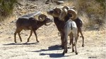 Peninsular bighorn sheep 2.jpg