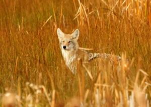 Coyote_in_cat_tails_Seedskade_NWR_Tom_Koerner_USFWS_FPWC.jpg