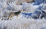 Coyote_in_hoar_frost_Seedskade_NWR_Tom_Koerner_USFWS_FPWC.jpg