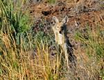 Coyote_pup_Seedskade_NWR_Tom_Koerner_USFWS_FPWC.jpg