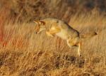 Leaping_Coyote_Seedskade_NWR_Tom_Koerner_USFWS_FPWC.jpg