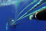 EndangledHumpbackWhale_NOAA_FPWC.jpg