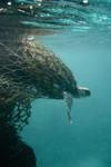 EntangledTurtle_DougHelton_NOAA_FPWC.jpg