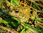 Dixie_Valley_Toad_Patrick_Donnelly_1_FPWC_Media_Use_Allowed.jpg