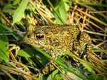 Dixie_Valley_Toad_Patrick_Donnelly_2_FPWC_Media_Use_Allowed.jpg