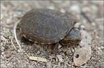 sonoyta__mud_turtle_NPS_FPWC.jpg