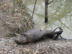Beaver_caught_in_Leg_Hold_Trap_2016_05813_Partial_8_Item_1_LA_records_125_HOT_USDA_Wildlife_Services_FOIA_FPWC.jpg