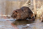 Beaver_Larry_Palmer_USFWS_FPWC.jpg