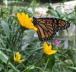 Monarch_Butterfly_John_Buse_Center.jpg