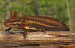 Frosted_Flatwoods_Salamander_USGS_FPWC.jpg