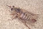 San-Joaquin-Valley-giant-flower-loving-fly-R-trochilus-CA-Kern-Co-Greg-Ballmer-FPWC.jpg