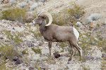 Desert_Bighorn_sheep_Photo_by_Andrew_Cattoir_National_Park_Service_FPWC.jpg