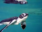 green-sea-turtle-msullivan-NOAA_permit1013707-FPWC.jpg