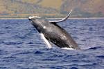 humpback-whale-NOAA-FPWC.JPG