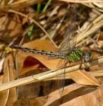 Southern-Snaketail-Omphiogomphus-australis-Giff-Beaton-FPWCon-FPWC.jpg