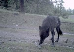 Togo-wolf-trail-cam-May-20-2018-WDFW-Washington-Department-of-Fish-and-Wildlife.jpg