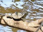 Pascagoula map turtle-Grover-Brown-2.jpeg