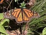 Monarch-butterfly-Lori-Ann-Burd-Center-FPWC.jpg