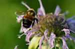 Rusty_patched_bumble_bee_USFWS_FPWC.jpg