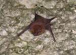 Pacific_Sheath-tailed_bat_Ernest_Valdez,_USGS_PD_FPWC.jpg