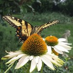 swallowtail_Hannah_Connor_Center_for_Biological_Diversity_FPWC_OK_for_Media.jpg