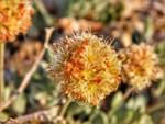 Tiehms_Buckwheat_Flower_Patrick_Donnelly_Center_FPWC.jpg