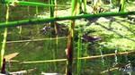 Chiricahua_Leopard_Frogs_Border_Russ_McSpadden_Center_for_Biological_Diversity_FPWC.mp4