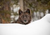 Wolf_Yellowstone_National_Park_Jim_Peaco_NPS_FPWC.jpg