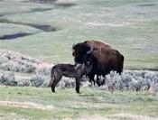 Yellowstone_wolf_Brett_Hartl_FPWC_Media_Use_ok_1.jpg