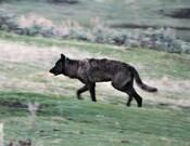 Yellowstone_wolf_Brett_Hartl_FPWC_Media_Use_ok_2.jpg