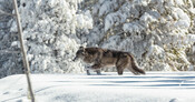 Yellowstone_wolf_National_Park_Service_Jacob_Frank_Public_Domain_FPWC_3.jpg