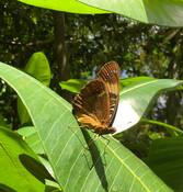 Mariana_eight-spot_butterfly_USFWS_FPWC.JPG