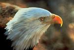 BaldEagle_LeeEmery_USFWS_FPWC.jpg