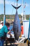 BluefinTuna_CaughtInTrap_Italy_NOAA_FPWC.tif
