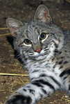Bobcat_RobinSilver_1_FPWC.tif