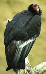 CaliforniaCondor_ScottFrier_USFWS_FPWC.tif