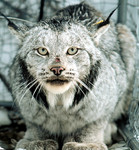 CanadaLynx_WashingtonDeptFishAndWildlife_FPWC.jpg