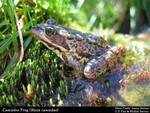 Cascades_Frog_Rana_cascadae_James_Bettaso_USFWS_FPWC.jpg