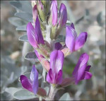 CoachellaValleyMilk-vetch_CaliforniaDeptOfFishAndWildlife_FPWC.tif