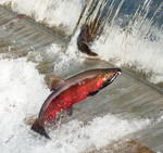 CohoSalmon_FlickrCreativeCommons_SoggydanDanBennett_BY_1.jpg
