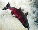 CohoSalmon_FlickrCreativeCommons_SoggydanDanBennett_BY_2.jpg