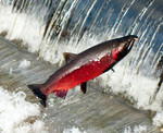 CohoSalmon_FlickrCreativeCommons_SoggydanDanBennett_BY_3.jpg