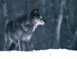 GrayWolf_courtesyMichiganDeptNaturalResources_FPWC.jpg