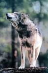 GrayWolf_NorthernRockies_NPS_FPWC.jpg