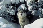 GrayWolf_Tracy_Brooks_Mission_Wolf_USFWS_FPWC_HIGHRES.tif