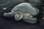 GreenSeaTurtle_JerryAPayne_USDAAgriculturalResearchService_forestryimages.org_FPWC.jpg